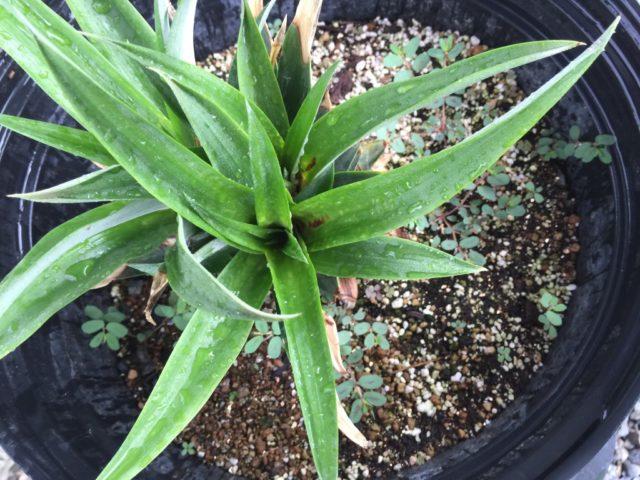パイナップル 鉢植え