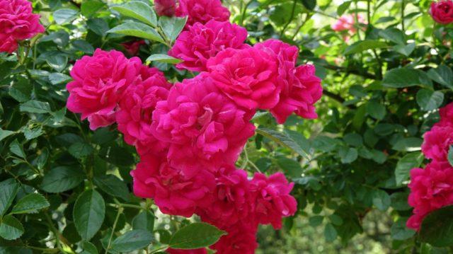 牧野植物園 バラ