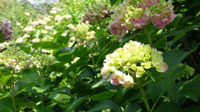 牧野植物園 紫陽花