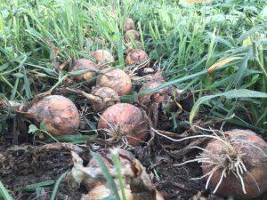 玉ねぎ 収穫