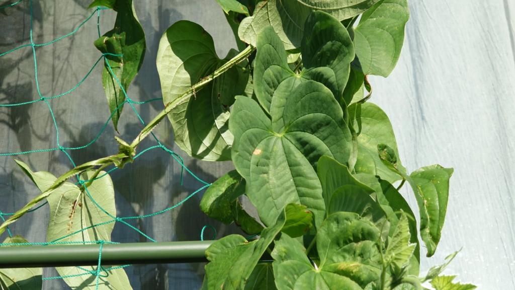 つくね芋の葉っぱ ハート型