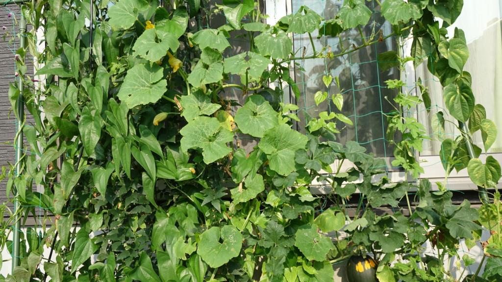 かぼちゃの緑のカーテン