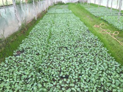 発芽したブロッコリーの苗を育てる