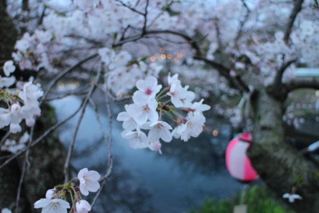ひょうたん池の桜