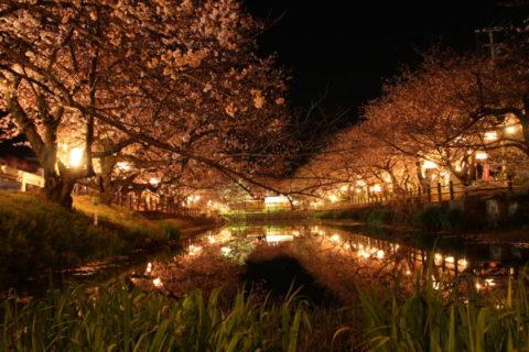 ひょうたん池 夜桜