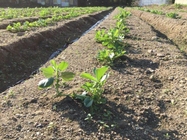 そら豆の栽培