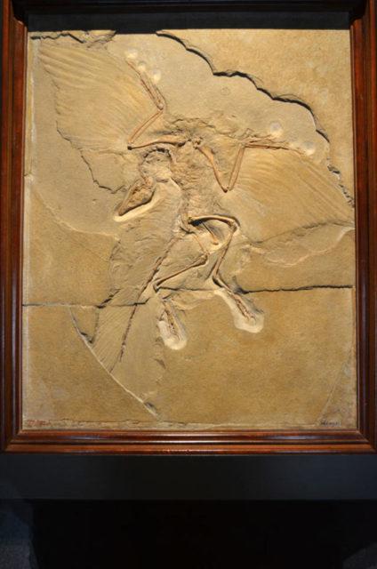 始祖鳥 標本